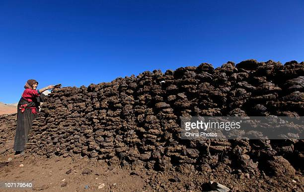 A Tibetan woman dries cattle manure as a fuel on November 28 2010 in Yushu County of Qinghai Province China Yushu was hit by a 71magnitude earthquake...