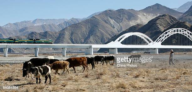 A Tibetan woman grazes her yaks near the Caihong Railway Bridge along the QinghaiTibet railway in the Liuwu Village where the Lhasa Railway Station a...