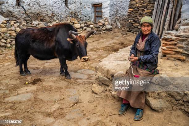 チベットの女性は小さな村、アッパーマスタングでヤクをリード - 偶蹄類 ストックフォトと画像
