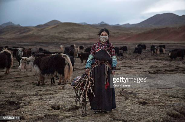 Tibetan woman stands amongst her yak herd a traditional source of income at a camp for cordycep pickers on May 23 2016 on the Tibetan Plateau near...