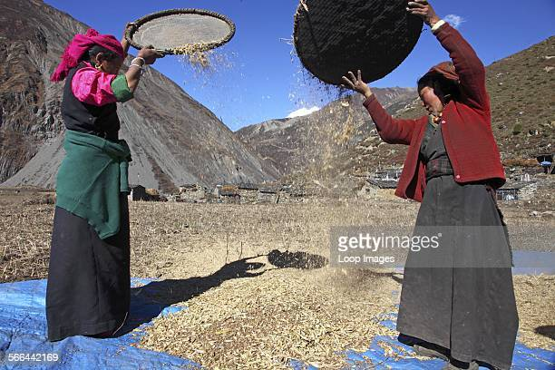 Tibetan women sorting out harvested wheat