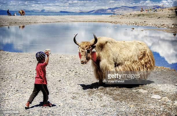 Tibetan yak in troubles