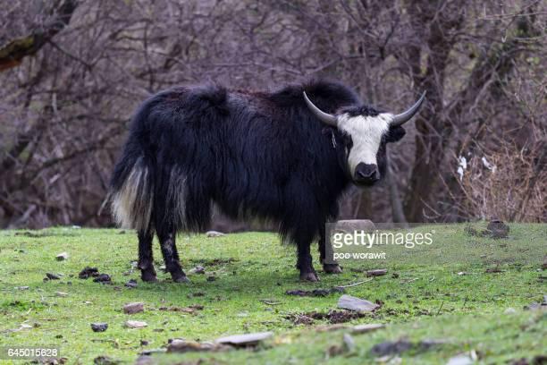 tibetan yak. - yak stock pictures, royalty-free photos & images