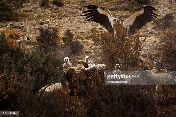 Tibet's cinereous vulture