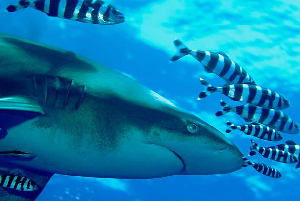 Tiburon puntas blancas oceanico