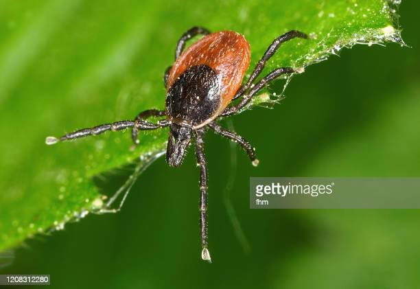 tick - one animal stock pictures, royalty-free photos & images