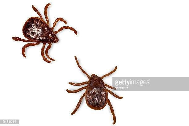 ticks on white - dog tick stock pictures, royalty-free photos & images