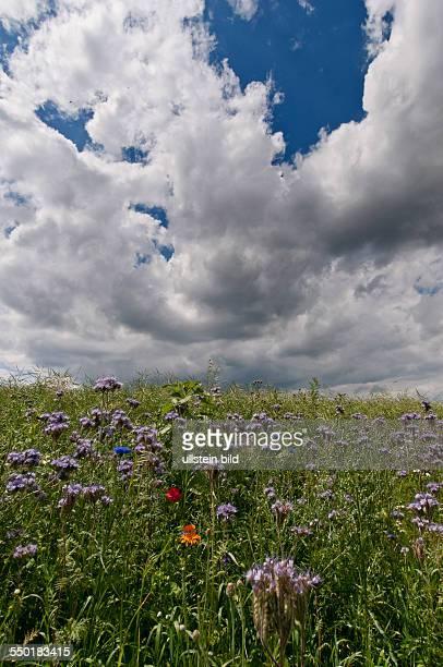 Tief ziehen Wolken über die Felder am Ortsrand von Blumberg Am Feldrand stehen blühende Feldblumen wie Mohn Kornblumen und Margariten