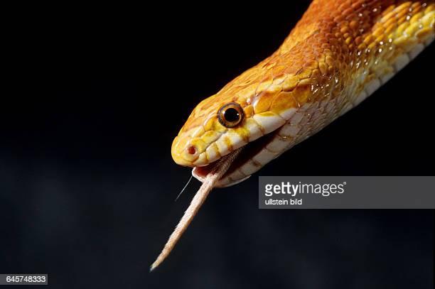 Tier Reptil Schlange Kornnatter Pantherophis guttatus