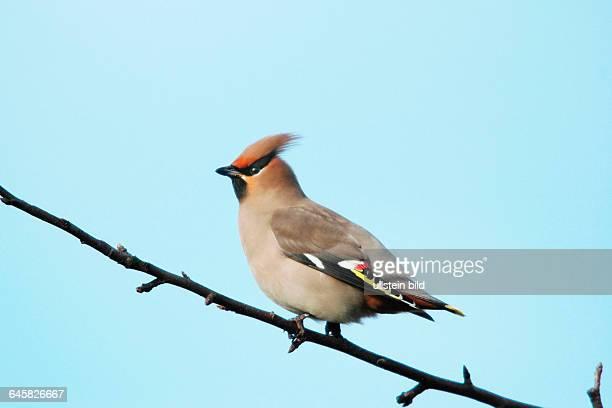 Tier Vogel Seidenschwanz Bombycilla garrulus sitzt im Apfelbaum
