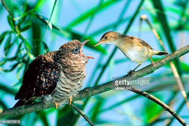 Tiere Voegel Kuckuck Teichrohrsaenger Kuckuck wird von Teichrohrsaenger gefuettert Common Cuckoo / Eurasian Cuckoo/ Cuckoo chick