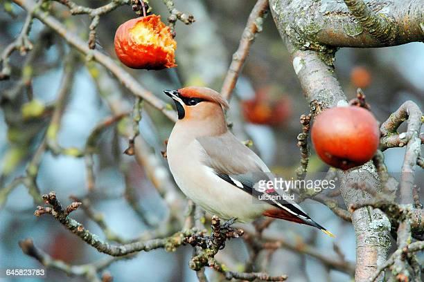 Tiere Voegel Seidenschwanz Bombycilla garrulus sitzt im Apfelbaum