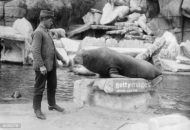 Tierpark in Hamburg-Stellingen: Walross und Tierpfleger- undatiert, vermutlich 1913Foto: Hünich, Conrad