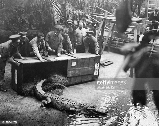 Tierpfleger im Berliner Aquarium entlassen ein ausgewachsenes Krokodil aus einer Transportkiste- undatiert, vermutlich um 1910veröffentlicht:...