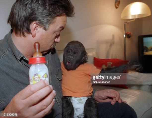 Tierpfleger Raimon Opitz gibt dem sechs Monate alte Gorillababy Bokito die Flasche. Das kleine Äffchen wurde nach seiner Geburt im Berliner Zoo von...