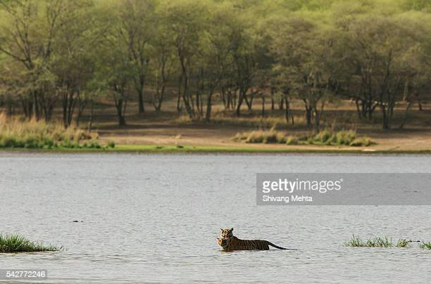 Tiger and cub crossing lake