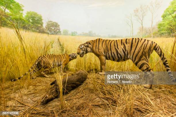 tiger and cub diorama - field museum of natural history stock pictures, royalty-free photos & images