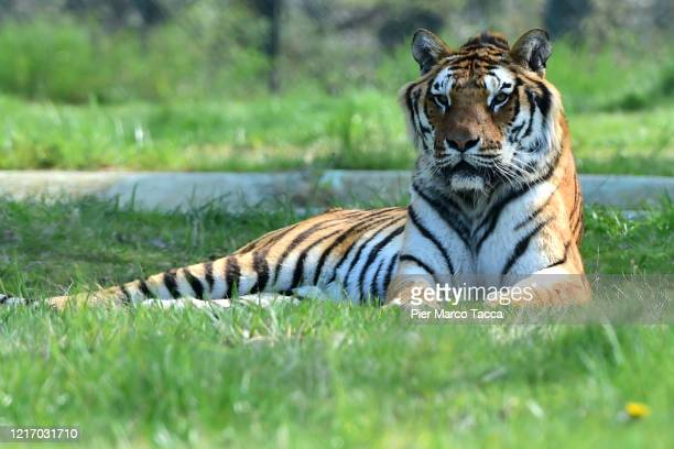 A tiger at Lake Maggiore Safari Parkon April 05 2020 in Varallo Pombia Italy Due to the lockdown of all activitiesAnimal Parks are suffering...