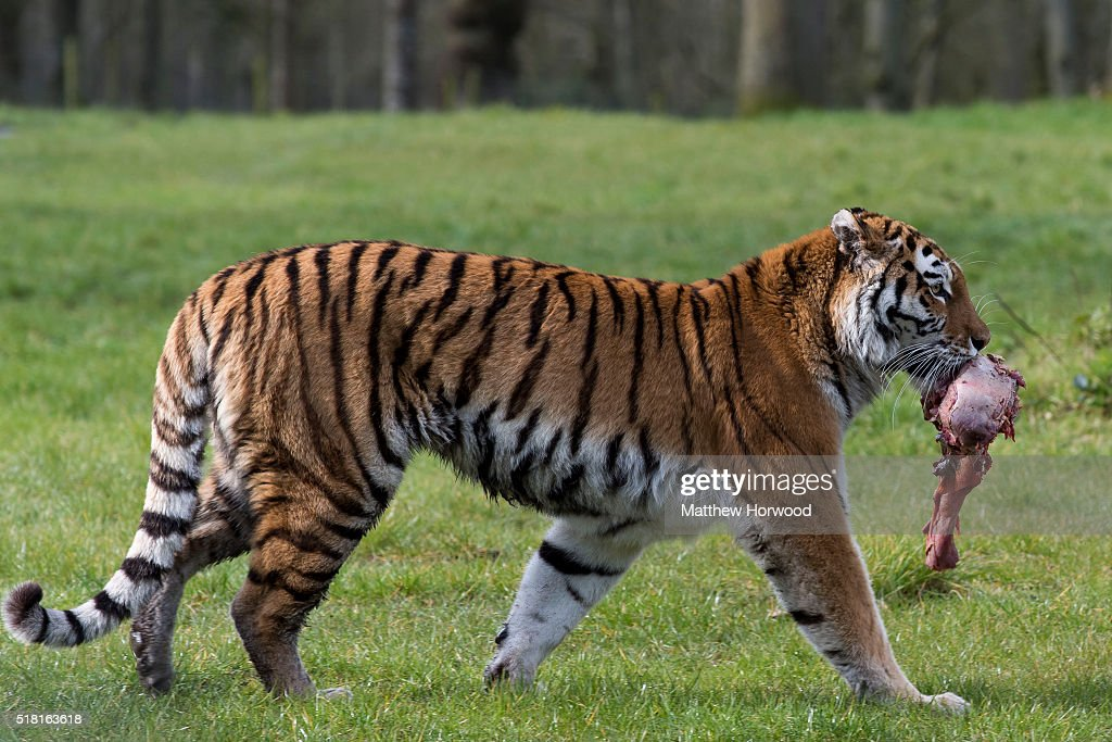 A tiger at Longleat on March 30, 2016 in Wiltshire, England. This year Longleat marks the 50th anniversary of its ground-breaking safari park. In 1966, the park, set in the grounds of the Wiltshire stately home, became the first of its kind to open outside of Africa.