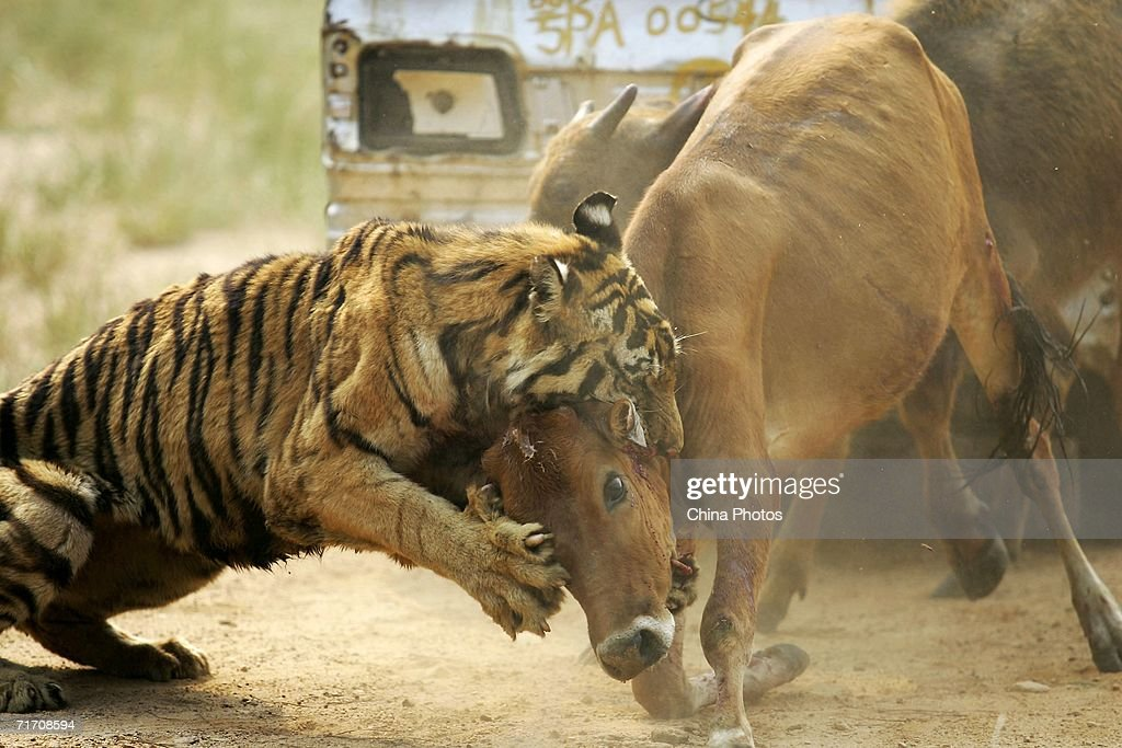 A tiger attacks a cow at the Wuhan Forest Safari Park on August 23, 2006 in Wuhan of Hubei Province, China. The park is training wild animals to resume their savage nature and develop their ability to live in the field, according to local media.