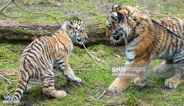 Tiger baby Alisha and Dragan meet each other for the first time on March 10 2015 at the zoo in Eberswalde Germany AFP PHOTO / DPA / PATRICK PLEUL...