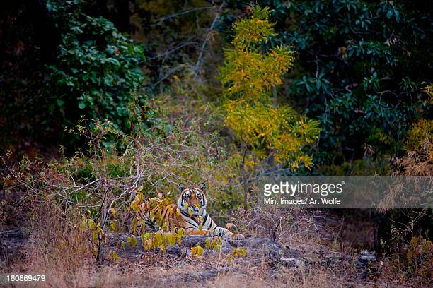 tiger, bandhavgarh national park, india - nature reserve stock pictures, royalty-free photos & images