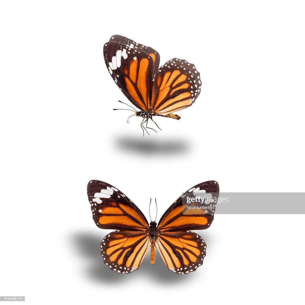 Tiger butterflies : Foto de stock