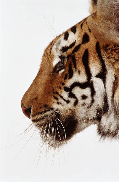Tiger (Panthera tigris), close-up