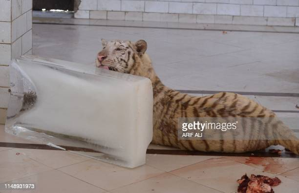 A Tiger cools off as it licks ice on a hot summer day at a zoo in Lahore on June 10 2019