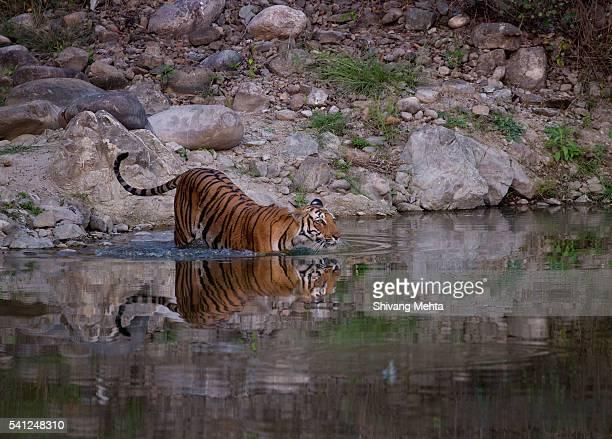 Tiger crossing river in Corbett
