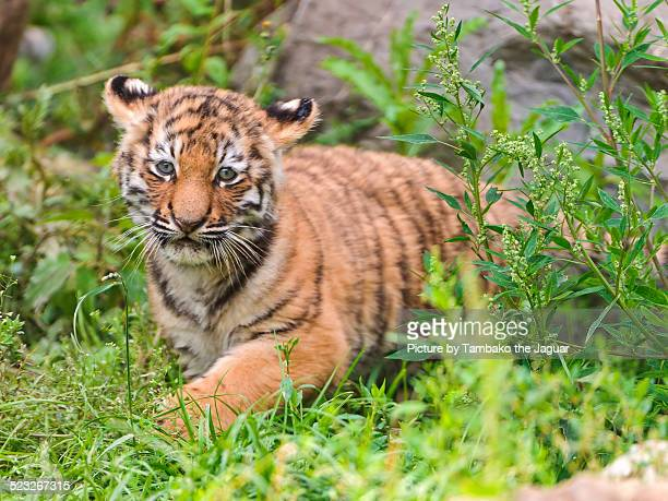 a tiger cub in the grass - tiger cub stock photos and pictures
