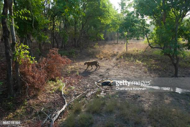 a tiger cub inside bandhavgarh walking during early morning - bandhavgarh national park stock pictures, royalty-free photos & images