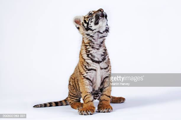tiger cub (panthera tigris) looking up, against white background - tiger cub stock photos and pictures