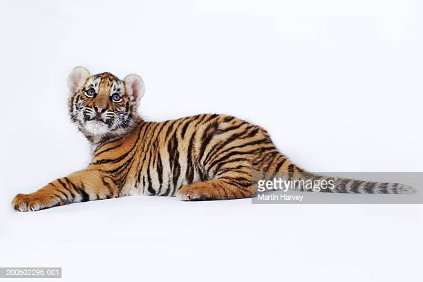 Tiger cub (Panthera tigris) lying down, against white background