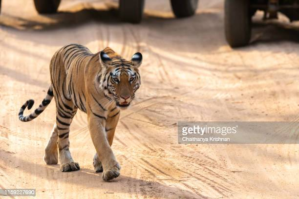 tiger cub of dominant tigress durga walking in the safari track inside pench tiger reserve during a wildlife safari - bandhavgarh national park stock pictures, royalty-free photos & images