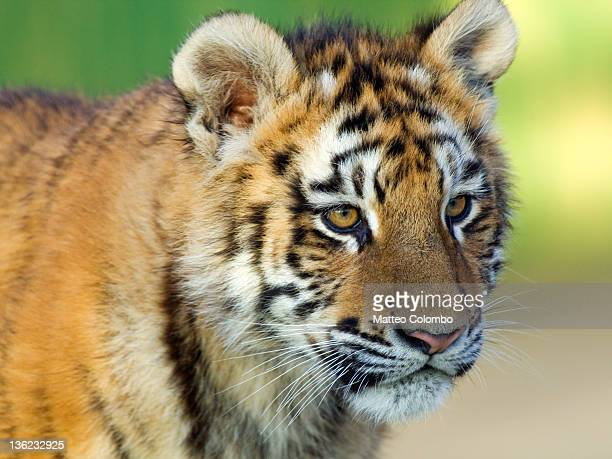 tiger cub - cub stock pictures, royalty-free photos & images