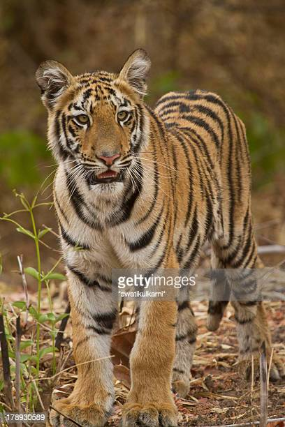 tiger cub - tiger cub stock photos and pictures