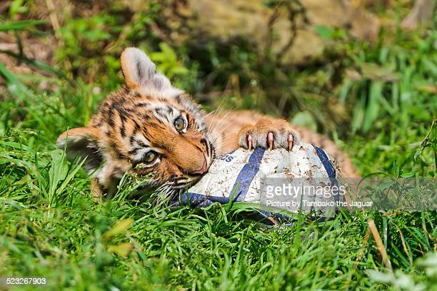 Tiger cub playing with a ball