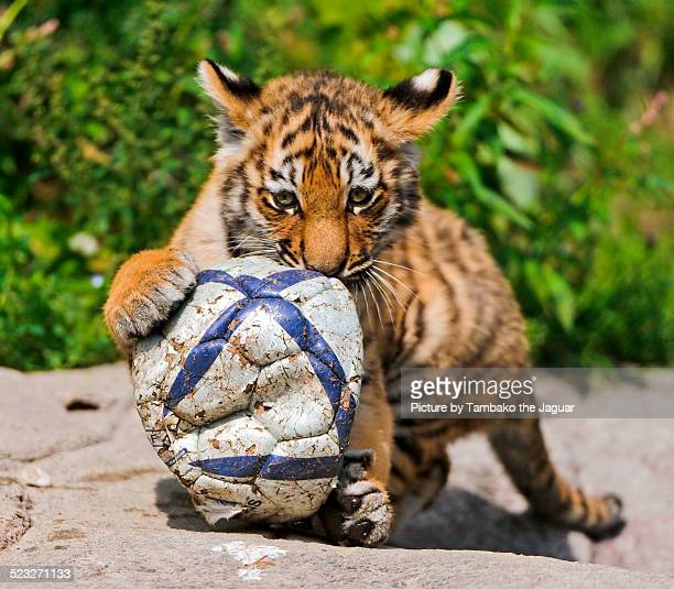 tiger cub playing with a ball - tiger cub stock photos and pictures