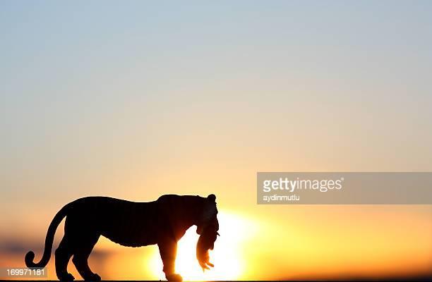 cria de tigre silhueta - lion cub - fotografias e filmes do acervo