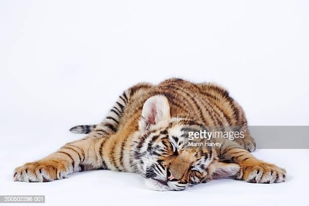 tiger cub (panthera tigris) sleeping, close-up - tiger cub stock photos and pictures