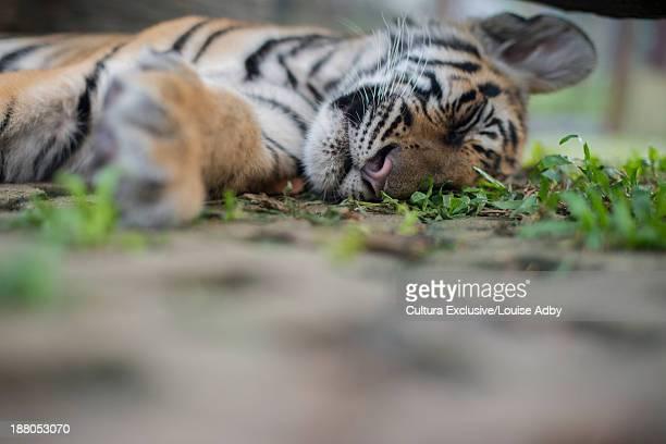 tiger cub sleeping, tiger kingdom, mae raem, chiang mai, thailand - mae louise allen stockfoto's en -beelden