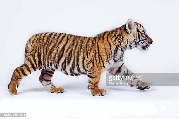 Tiger cub (Panthera tigris) walking, side view