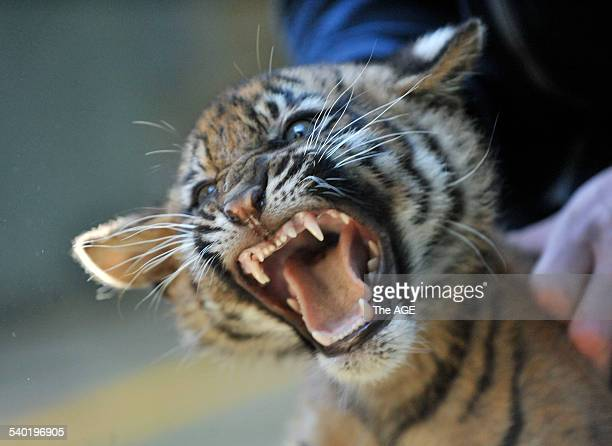 Tiger Cubs at Melbourne Zoo Adrian Howard with Aceh male weighed 10kg One of four Sumatran Tiger cubs who were vaccinated this morning to protect...