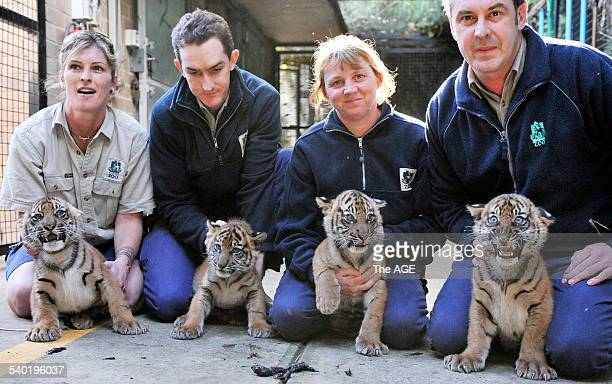 Tiger Cubs at Melbourne Zoo Four keepers with cubs Sam Cooper with Hutan a male weighed 845kg Justin Valentine with Rani female weighed 945kg Sheila...