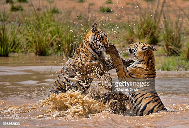 tiger cubs playing - tiger cub stock photos and pictures
