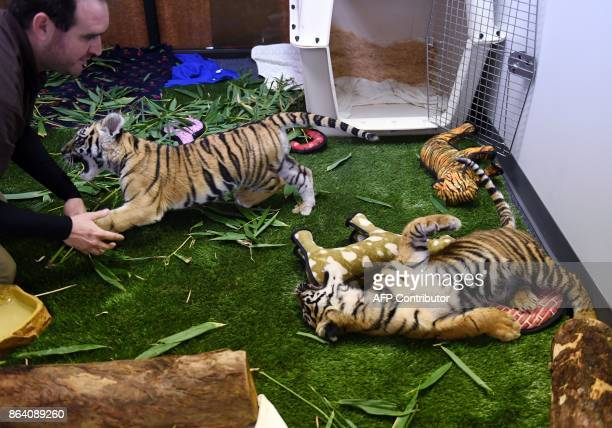 Tiger cubs smuggled into the US and seized at the Mexico border are displayed for the media during Operation Jungle Book at the US Fish and Wildlife...