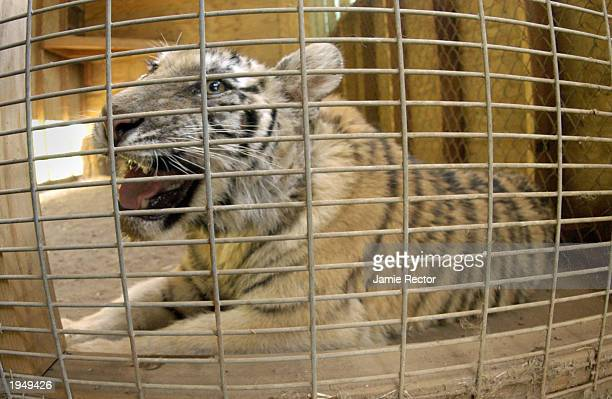 A tiger estimated to be sevenmonthsold waits in a quarantine cage at Fund for Animals after being rescued by the Sate Department of Fish and Games...