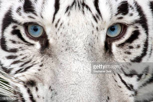 tiger eyes - bengal tiger stock pictures, royalty-free photos & images