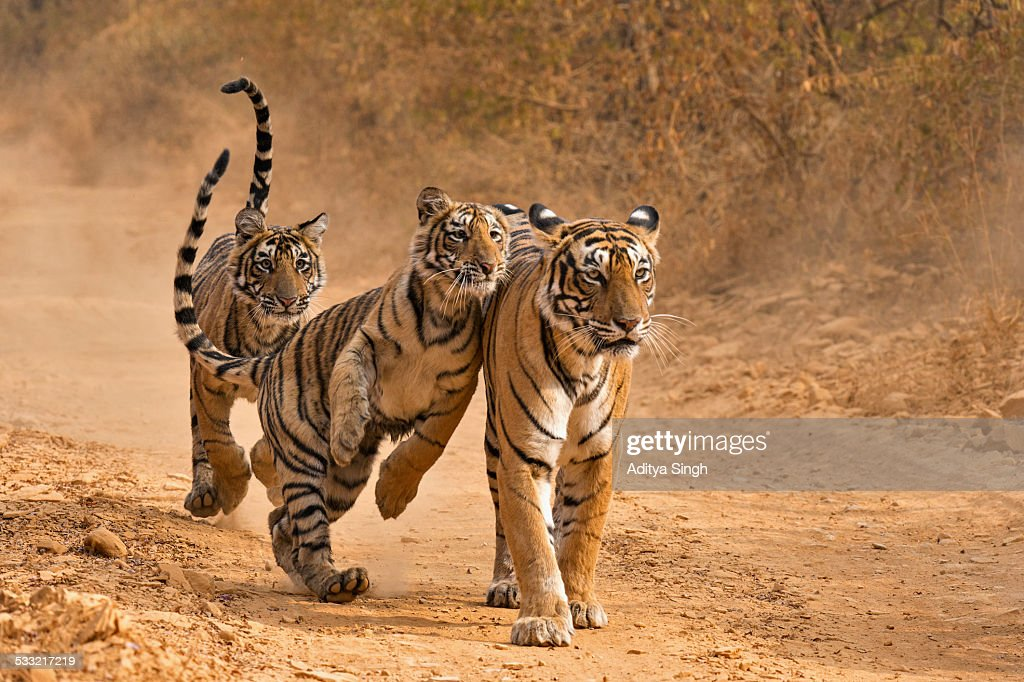 Tiger family in Ranthambhore : Stock Photo